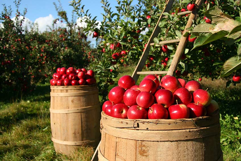 apples in a barrel